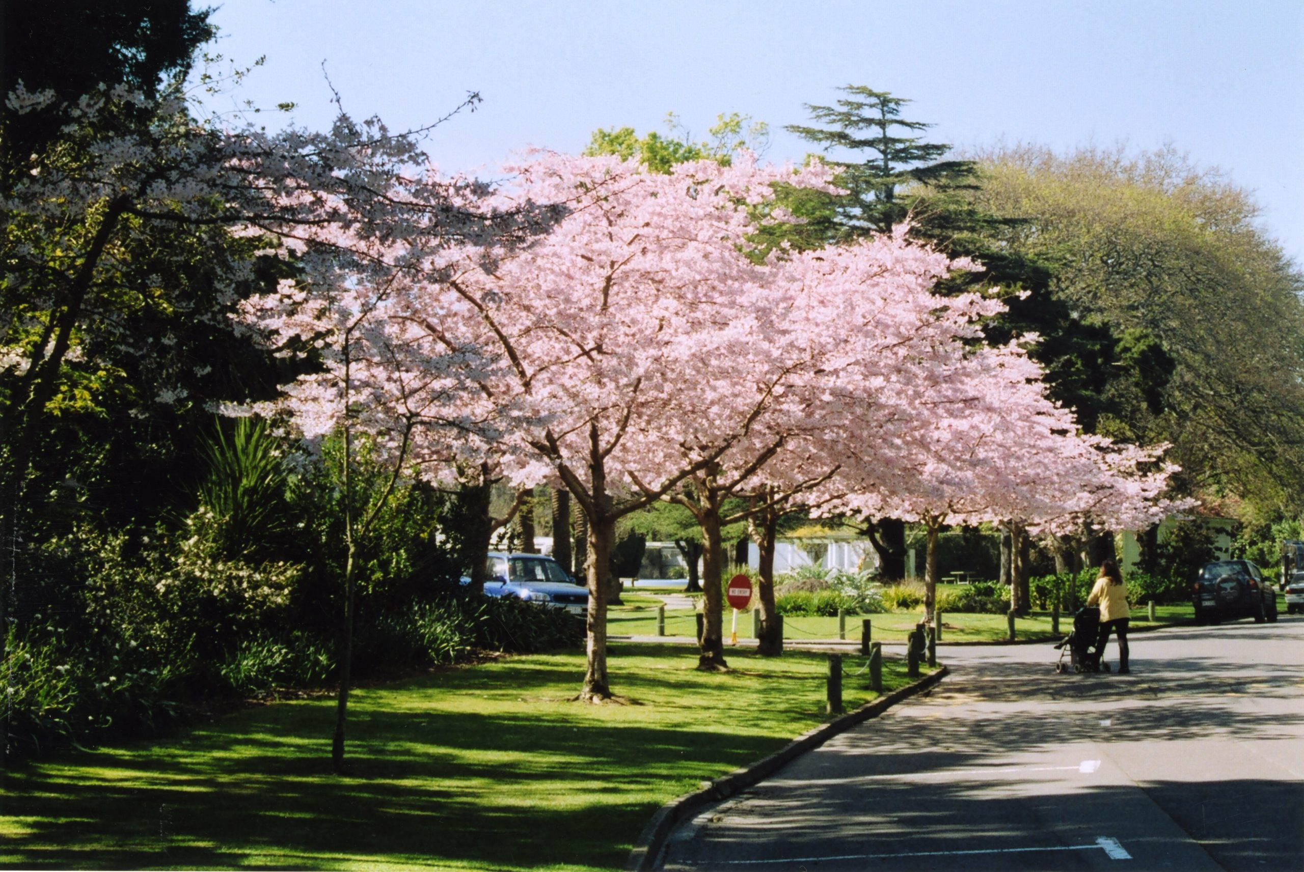 Image depicts three cherry blossom trees in full bloom set next to a roadside.